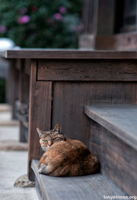 Japanese temple cat
