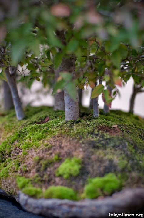 Japanese bonsai