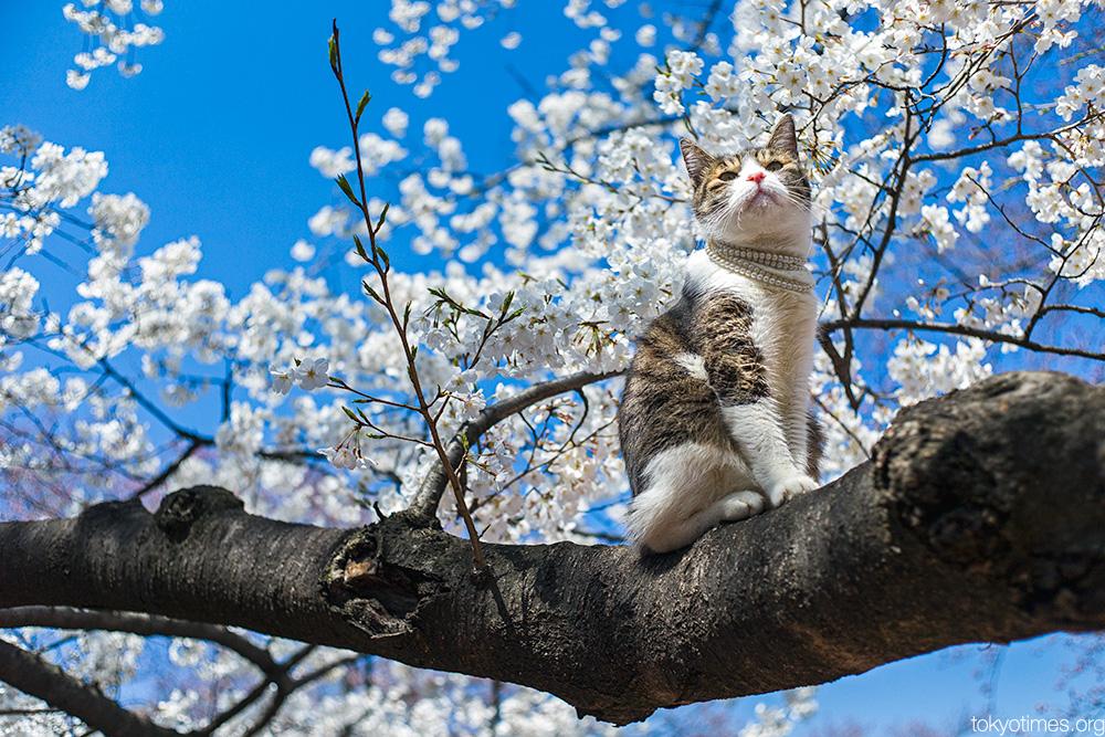 cherry blossom cat