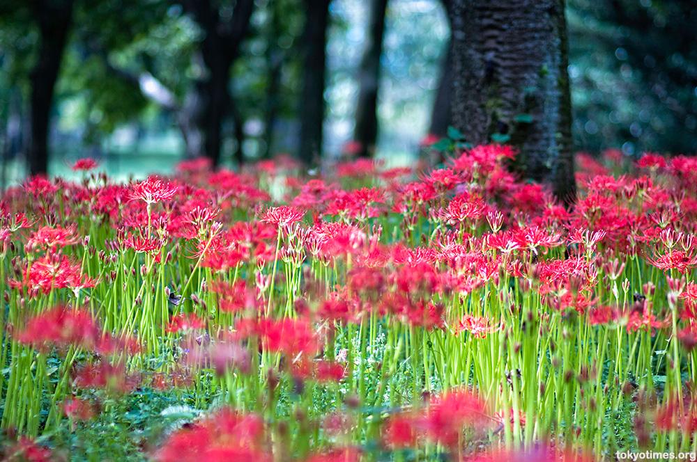 red spider lily. Japanese higanbana