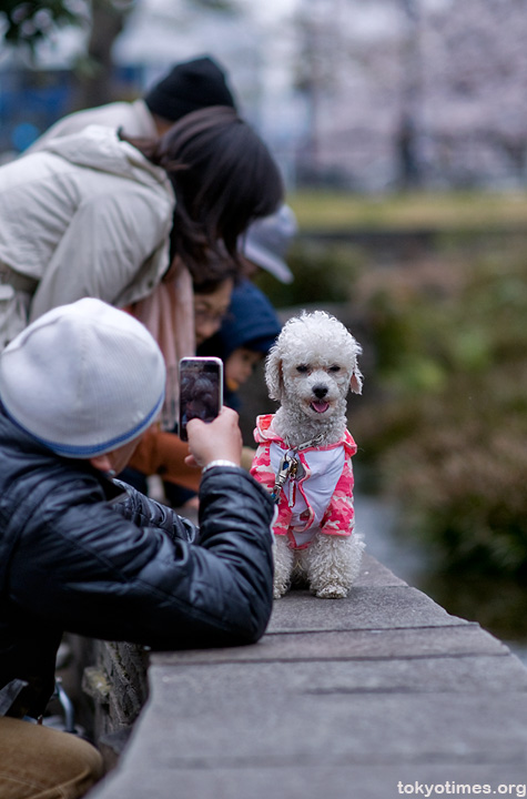 Japanese pet dog