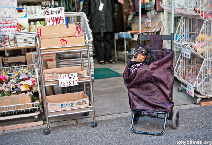 Japanese dog in a basket
