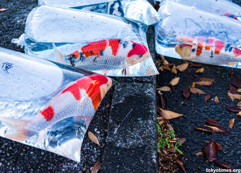 Japanese koi in bags