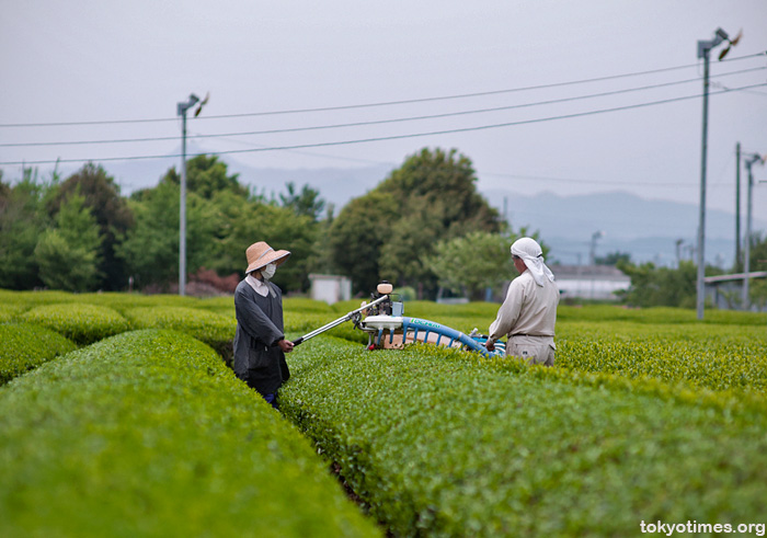 Japanese green tea harvest