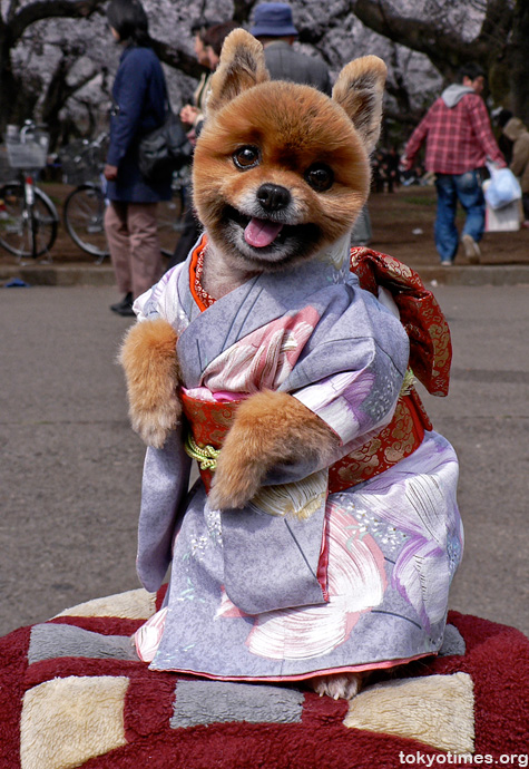 Japanese kimono_dog