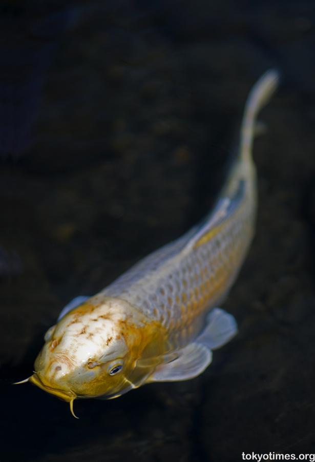 Japanese koi tokyo times for Coy carp fish