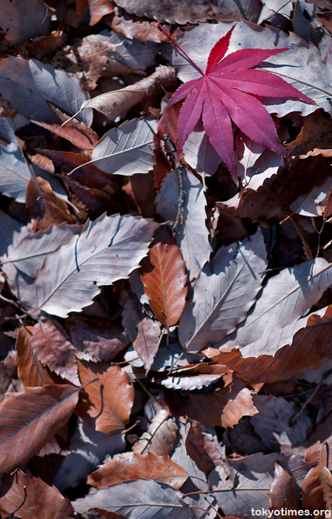 Japanese autumn colours