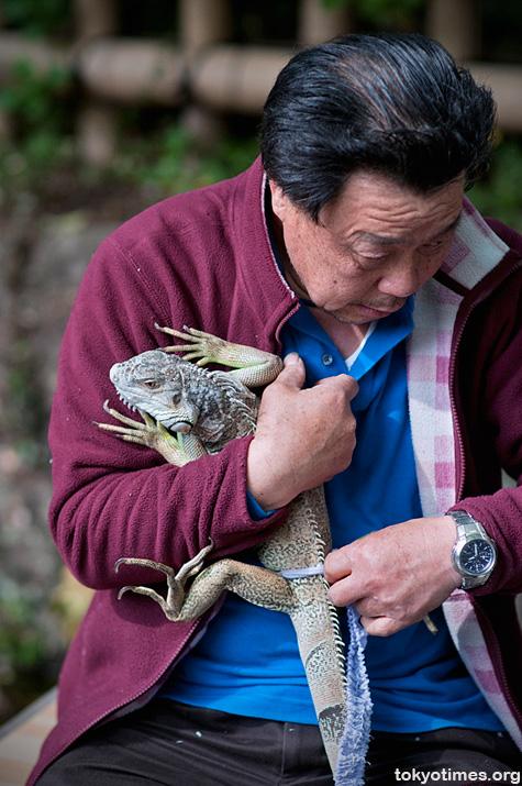 Japanese pet iguana