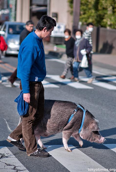 Japanese pet pig in Tokyo