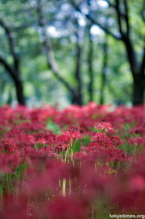 Japanese Lycoris or Higan Bana