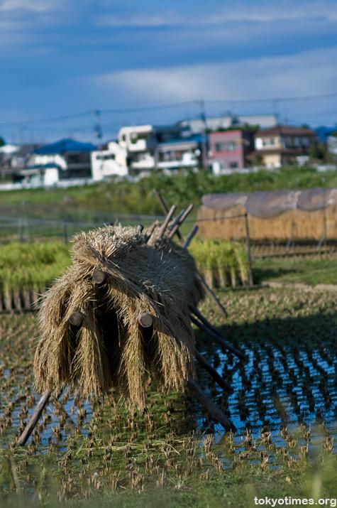 Tokyo rice harvest