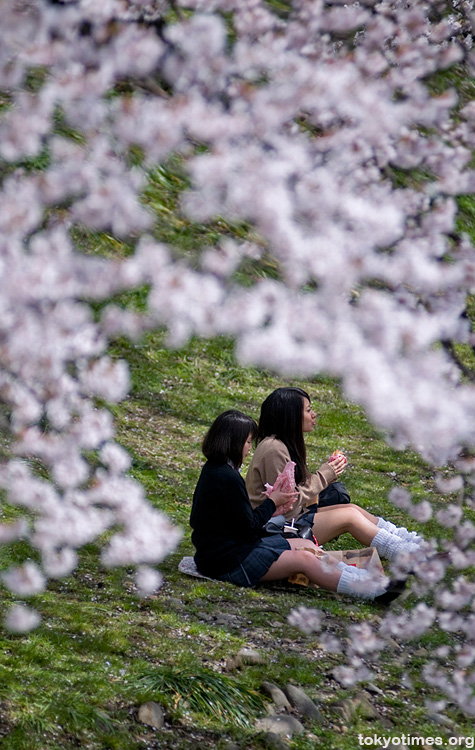 Japanese schoolgirls and sakura