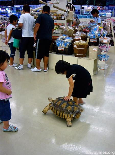 Japanese tortoise
