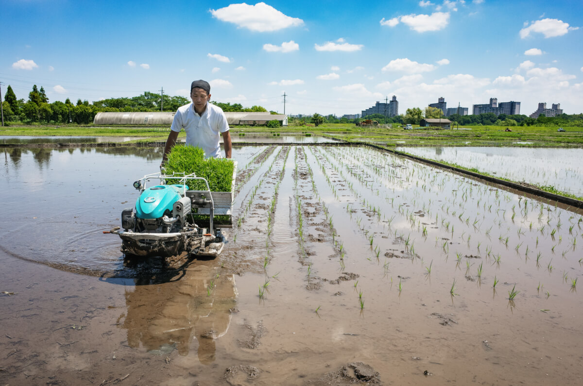 rice fields and rice planting in west Tokyo