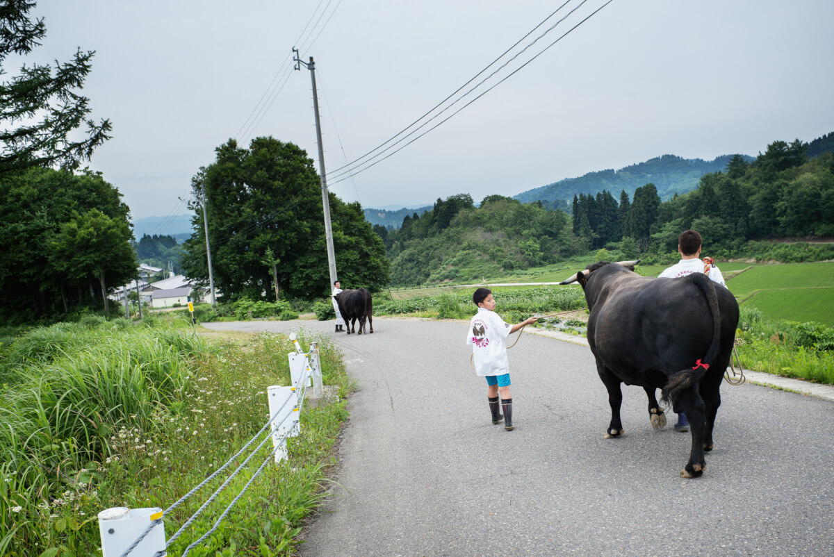 a large bull in rural Japan